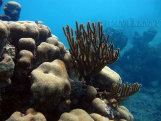 Boudler star coral (Montastraea annularis)