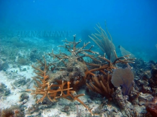 Wreck Reef: Staghorn coral (Acropora cervicornis)